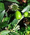 Olives (9741035452).jpg