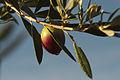 Olives (UOVO PICCIONE) Cl J Weber (6) (22852476480).jpg