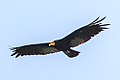 On the Rio Tambopata…Greater Yellow Headed Vulture (8445846412) (cropped).jpg