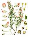 Ononis spinosa - Köhler–s Medizinal-Pflanzen-230.jpg