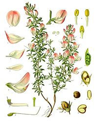 Ononis spinosa - Köhler–s Medizinal-Pflanzen-230