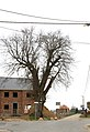 Opgaande linde met boomkapel - 375595 - onroerenderfgoed.jpg