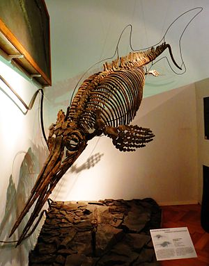 Ophthalmosaurus - O. icenicus in Tubingen
