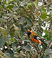 Orange-backed Troupial (Icterus croconotus) (29204376291).jpg