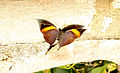 Orange Oakleaf Kallima inachus by Dr. Raju Kasambe IMG 1147 (10).JPG