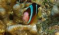 Orangefin anemonefish 3.jpg