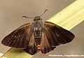 Orangetail awl 2010 06 29 IMG 9999 77 (5160179336).jpg