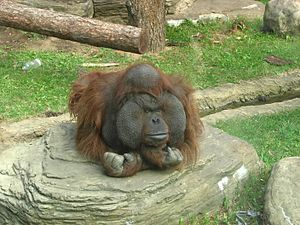 Bornean orangutan - A male orangutan at Moscow Zoo. The male's face pad widens as he grows older.
