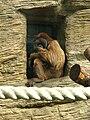 Orangutan (sumatran) 04.JPG