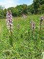 Orchis purpurea 04.JPG