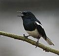 Oriental Magpie Robin (Copsychus saularis)- Male bathing & calling in the rain at Kolkata I IMG 3746.jpg