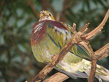 Ptilinopus ornatus Ornate
