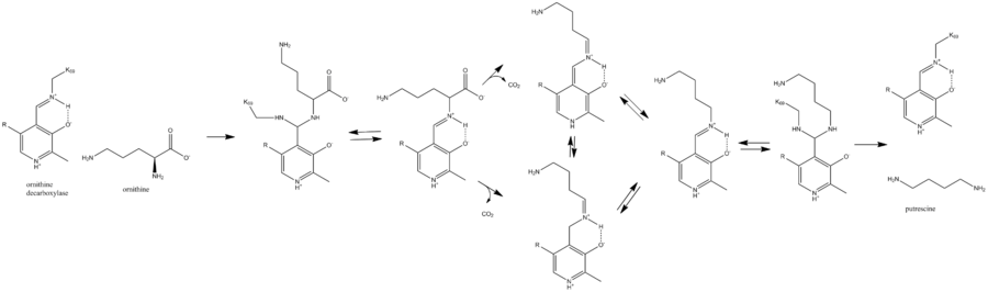 ornithine decarboxylase mechanism