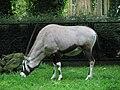 Oryx (540084198).jpg