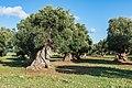 Ostuni olive grove SS379-3339.jpg