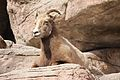 Ovis canadensis at the Denver Zoo 2012 03 12 002.jpg