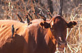 Oxpecker Red-billed and Cow.jpg