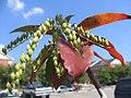 Oxydendrum arboreum 4zz.jpg