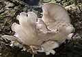 Oyster Mushroom (Pleurotus ostreatus) (16268204621).jpg