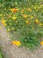 P1000598 Cosmos sulphureus (Yellow cosmos) (Compositae) Plant.JPG