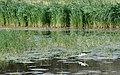 P1090475-24x15-Himantopus himantopus) (29052499458).jpg