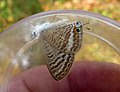 PEA BLUE - probably same species European Long Tailed Blue. (5269190651).jpg