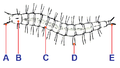 PSM V37 D357 Larva of flea tagged.png
