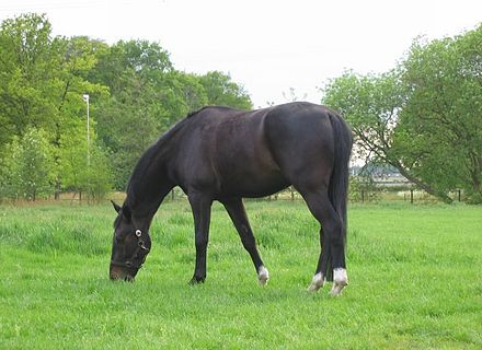 440 x 320 jpeg 34kB, Paard Dier Wikipedia | Caroldoey: popcorntimeforandroid.com/blog/paard-astrologie-wikipedia.html
