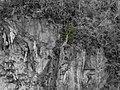 Pachira (Bombacopsis) cubensis 0769a-3f.jpg