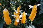 Pachystachys lutea - Bloedel Floral Conservatory, Queen Elizabeth Park - Vancouver, Canada - DSC07533.JPG