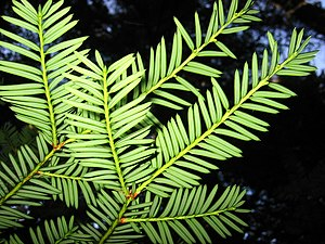 Taxus brevifolia - Image: Pacific Yew 7684