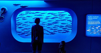 A visitor stands in front of a school of Pacific mackerel that are swimming by an aquarium window with a faint blue light