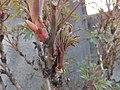 Paeonia suffruticosa Piazzo 06.jpg