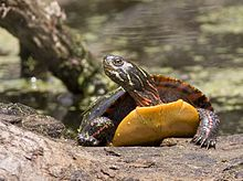 An adult painted turtle specimen pointed toward the viewer with its head raised and facing towards its right.