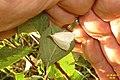 Pale straw pearl (Vys) (11193273393).jpg