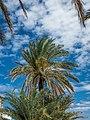 Palm Trees (28634478775).jpg