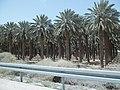 Palms - panoramio (6).jpg