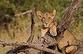 Panthera leo -Buffalo Springs National Park, Kenya -cub-8.jpg