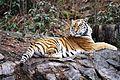 Panthera tigris kristiansand dyrepark IMG 4043.JPG