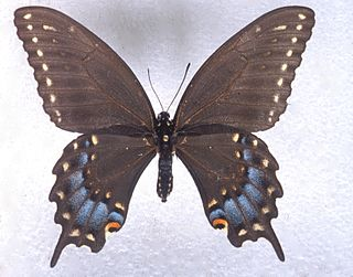 <i>Papilio joanae</i> species of insect