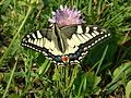 Papilio machaon .JPG