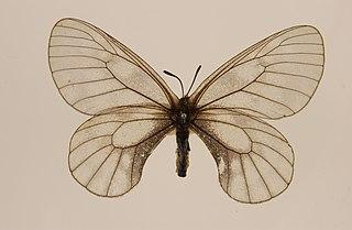 <i>Parnassius stubbendorfi</i>