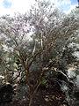 Parolinia ornata kz4.JPG