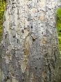 Parrotia persica (29).JPG