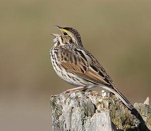 Savannah sparrow - Singing male, probably P. s. labradorius Cap Tourmente National Wildlife Area, Quebec (Canada)