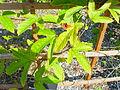 Passiflora coccinea 1.jpg
