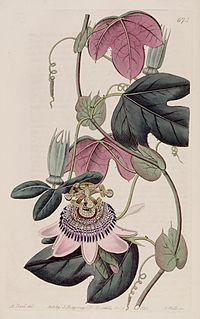 Passiflora picturata Bot. Reg. 8. 673. 1822
