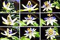 Passionsblume - Collage der Blütenöffnung.jpg