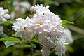 Paul's Himalayan Musk Rose, Hare Hill.jpg