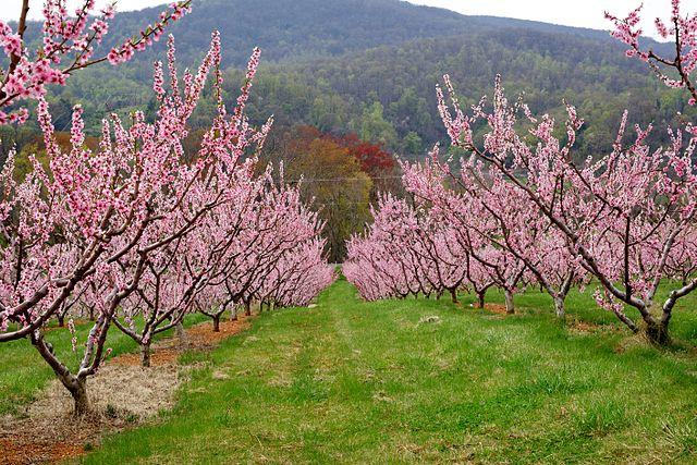 Ovocné stromy sa vo veľkom pestujú v sadoch (broskyňový sad)
